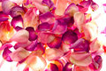 Vibrant rose petals Royalty Free Stock Photography