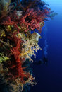Vibrant soft coral with scuba divers in background Stock Photos