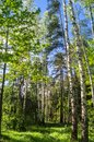 Vibrant summer landscape. Mixed forest on the sunny day. Royalty Free Stock Photo