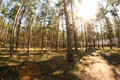 Vibrant summer pine forest sunny near vladimir russia shot with a wide angle fish eye lens Stock Photography