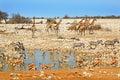 A Vibrant waterhole with Giraffe, Zebra, Kudu Royalty Free Stock Photo