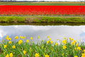 Vibrant yellow daffodil and red tulip flowers field, water canal Royalty Free Stock Photo