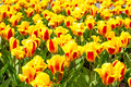 Vibrant yellow and red tulips with water drops,  flowerbed after rain postcard Royalty Free Stock Photo