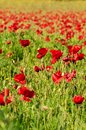 Vibrantly colored field of poppies in spring Royalty Free Stock Photo