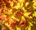 Viburnum against yellow leaves autumn background and red of Royalty Free Stock Photos