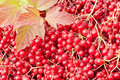 Viburnum berries background Stock Photography
