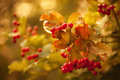 Viburnum berries on a branch autumn abstract background Royalty Free Stock Photo