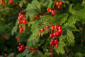 Viburnum berries bunches of on natural bsckground Royalty Free Stock Photos