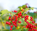 Viburnum berries in spring season Stock Photography