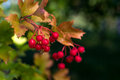 Viburnum bush with berries is a red berry a big stone it ripen in the end of september under the influence of early frosts rather Royalty Free Stock Photos