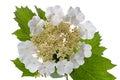 Viburnum flowers large white blooming isolated on white background Royalty Free Stock Photo