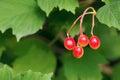 Viburnum fruits the close up of scientific name macrocephalum Stock Photos