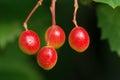 Viburnum fruits the close up of scientific name macrocephalum Royalty Free Stock Image