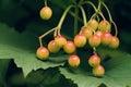 Viburnum fruits the close up of scientific name macrocephalum Royalty Free Stock Photos