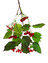 Viburnum isolated image of twigs with ripe berries shooting time late autumn Stock Photo