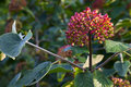 Viburnum lantana Royalty Free Stock Photos
