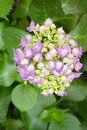 Viburnum macrocephalum fort hydrangea caprifoliaceae are deciduous or semi evergreen shrubs also known as the Stock Images