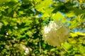 Viburnum opulus, water elder, cramp bark, snowball tree and European cranberrybush, white flower Royalty Free Stock Photo