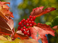 Viburnum red berries of tree Royalty Free Stock Photography