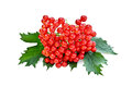 Viburnum red with leaves Royalty Free Stock Images