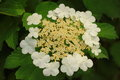 Viburnum sargentii is a species of flowering plant in the family adoxaceae formerly caprifoliaceae native to north eastern asia Royalty Free Stock Images