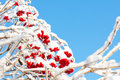 Viburnum shrub with red ripe berries covered with snow