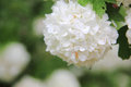 Viburnum. White flower. Royalty Free Stock Photography