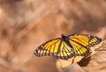 Viceroy butterfly against muted brown background Royalty Free Stock Photo