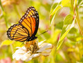 Viceroy butterfly feeding on a white Zinnia Stock Image