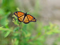Viceroy Butterfly Limenitis archippus Stock Images