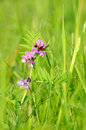 Vicia cracca flower wild on the meadow Royalty Free Stock Photography