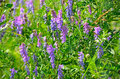 Vicia cracca flowers close up view Stock Image