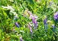 Vicia cracca jungles of plant with inflorescences of purple flowers on a background a green grass Royalty Free Stock Photography