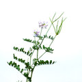 Vicia cracca or Vicky. Royalty Free Stock Images