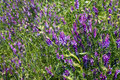 Vicia cracca wild flowers on the field Stock Photo