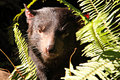 Vicious looking Tasmanian Devil Royalty Free Stock Photos