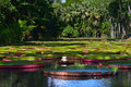 Victoria amazonica giant amazonian lily in water at the pamplemousess botanical gardens in mauritius regia Stock Photo