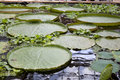 Victoria amazonica regia giant water lily floating float leaves pad pads Royalty Free Stock Photo