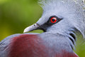 Victoria crowned bird goura victoria head profile Royalty Free Stock Photography