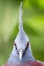 Victoria crowned bird goura victoria head profile Stock Photo