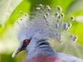Victoria crowned bird goura victoria head profile Stock Image