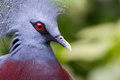 Victoria crowned bird goura victoria head profile Royalty Free Stock Photo
