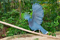 The Victoria Crowned Pigeon Royalty Free Stock Photo