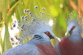 Victoria crowned pigeon Foto de Stock Royalty Free