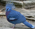 Victoria crowned pigeon 6 Royalty Free Stock Photo