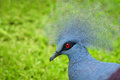 Victoria crowned pigeon bird goura victoria with green grass on background Royalty Free Stock Images