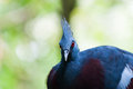 Victoria crowned pigeon goura at jurong bird park in singapore Royalty Free Stock Photography