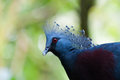 Victoria crowned pigeon goura at jurong bird park in singapore Stock Images