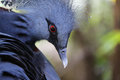 Victoria crowned pigeon goura victoria bird Royalty Free Stock Images