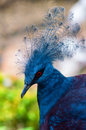 Victoria Crowned Pigeon (Goura victoria) bird Royalty Free Stock Photo